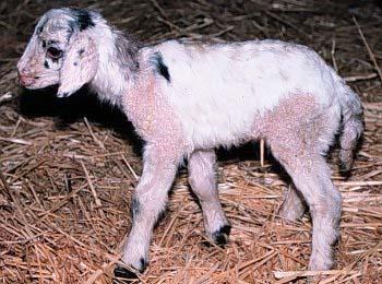 A SheepGoat chimera  Yerkes Humanzee